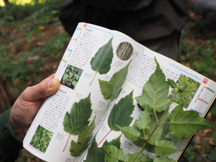 植物図鑑とウリカエデの葉