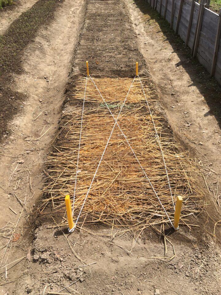 種まきのあとに敷き藁をした様子