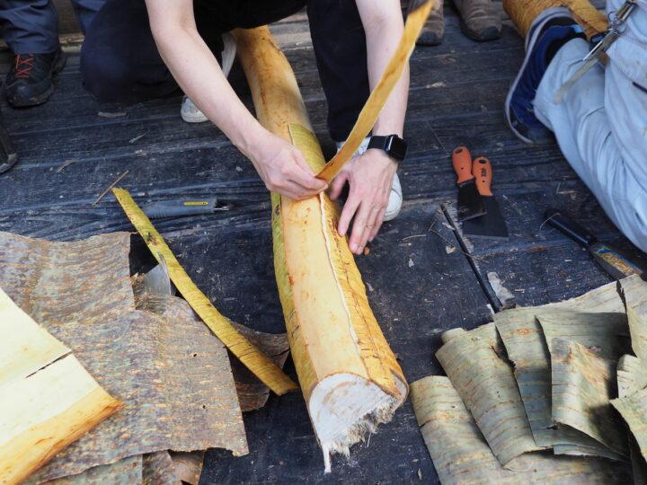 縦に裂けるカスミザクラ内樹皮