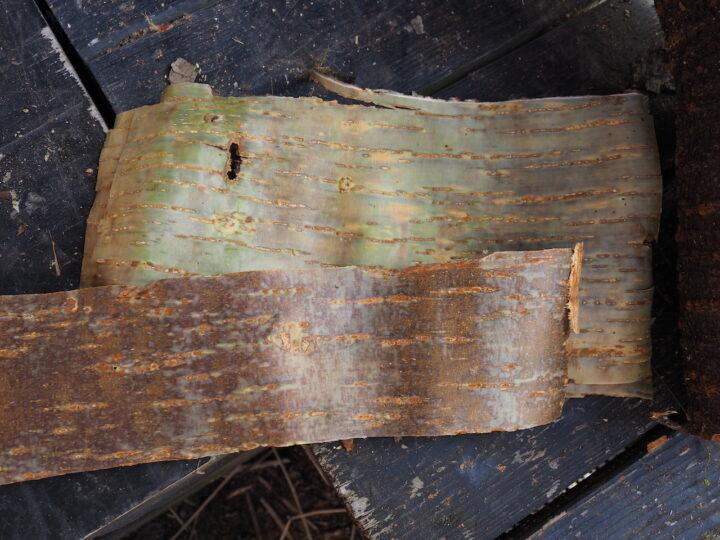 カスミザクラとヤマザクラの内樹皮
