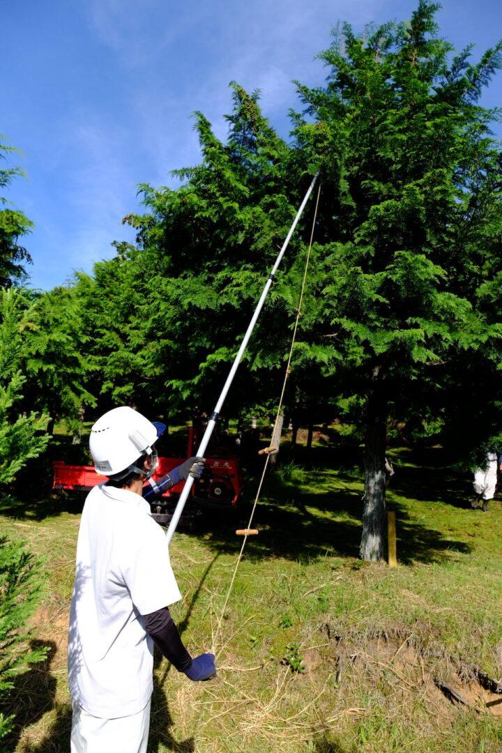 ヒノキの球果を高枝切り鋏で採取する様子