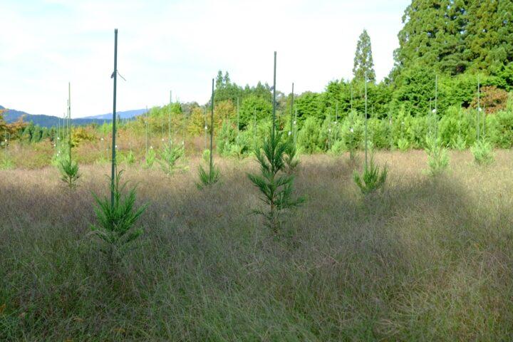 造成中の特定母樹採種園
