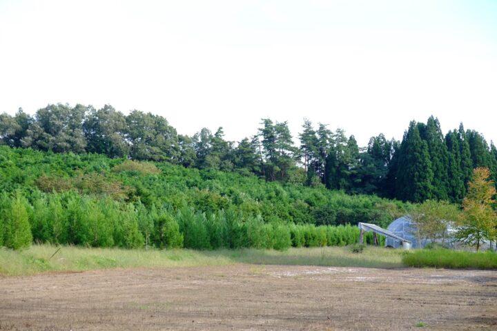 手前に見えるのが造成中の少花粉スギのミニチュア採種園,奥の少し大きい木はヒノキの採種園
